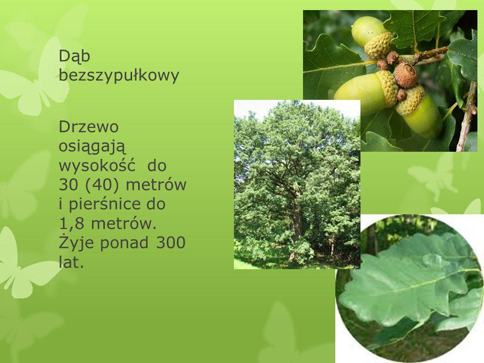 Dąb bezszypułkowy Drzewo osiągają wysokość do 30 (40) metrów i pierśnice do 1,8 metrów.