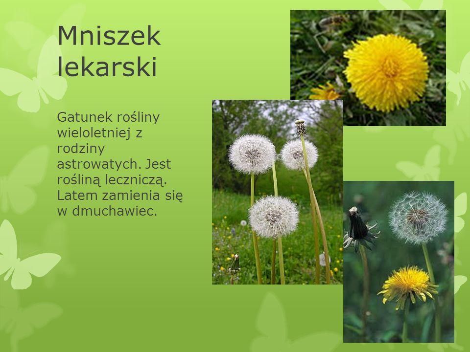 Mniszek lekarski Gatunek rośliny wieloletniej z rodziny astrowatych.