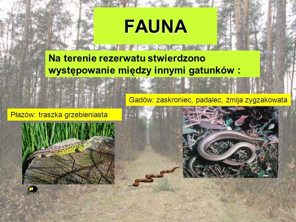 FAUNA Na terenie rezerwatu stwierdzono występowanie między innymi gatunków : Gadów: zaskroniec, padalec, żmija zygzakowata.