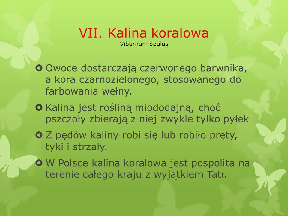 VII. Kalina koralowa Viburnum opulus