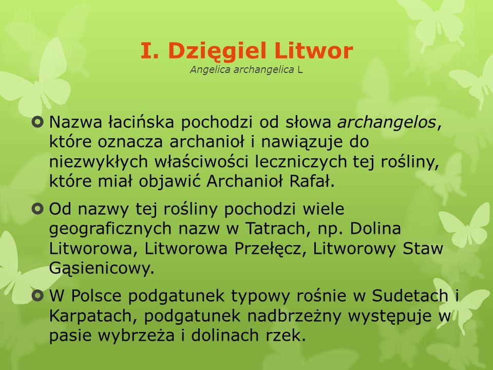 I. Dzięgiel Litwor Angelica archangelica L