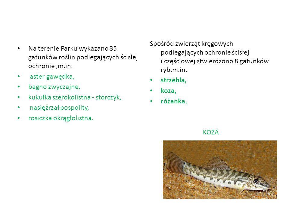 Spośród zwierząt kręgowych podlegających ochronie ścisłej i częściowej stwierdzono 8 gatunków ryb,m.in.