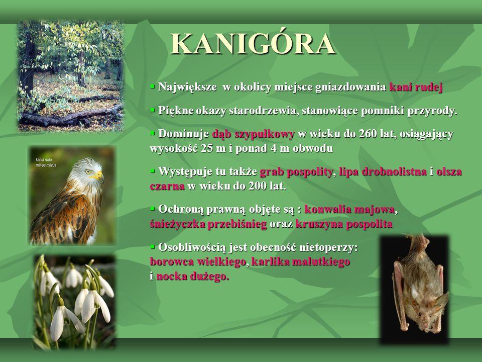 KANIGÓRA Największe w okolicy miejsce gniazdowania kani rudej