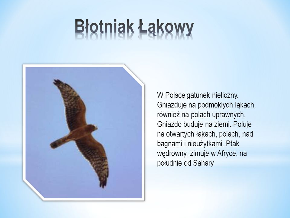 Błotniak Łąkowy