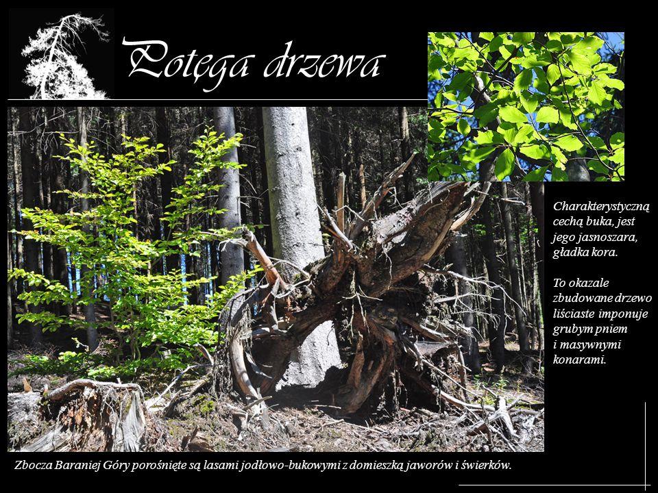 Potega drzewa , Charakterystyczną cechą buka, jest jego jasnoszara, gładka kora.