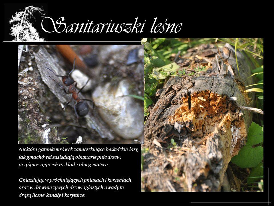 , Sanitariuszki lesne. Niektóre gatunki mrówek zamieszkujące beskidzkie lasy, jak gmachówki zasiedlają obumarłe pnie drzew,