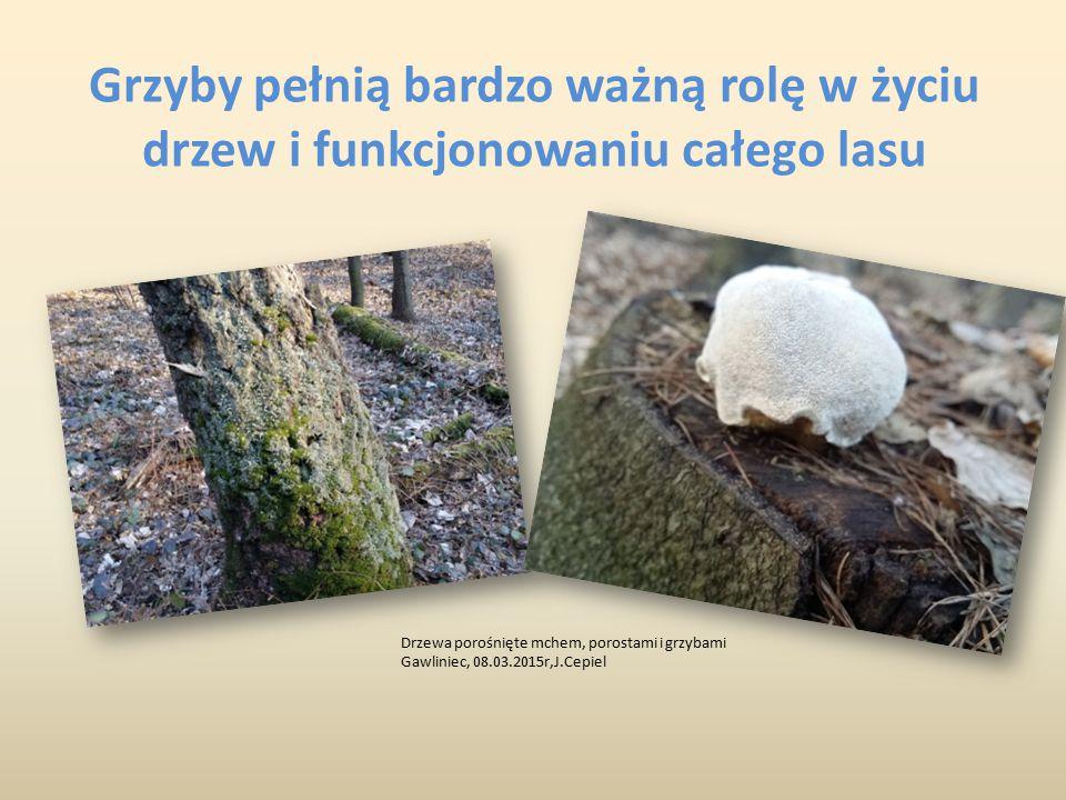 Grzyby pełnią bardzo ważną rolę w życiu drzew i funkcjonowaniu całego lasu