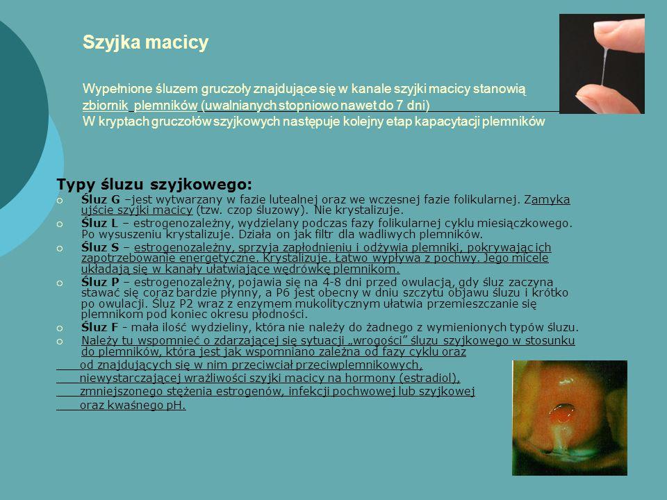 Szyjka macicy Wypełnione śluzem gruczoły znajdujące się w kanale szyjki macicy stanowią zbiornik plemników (uwalnianych stopniowo nawet do 7 dni) W kryptach gruczołów szyjkowych następuje kolejny etap kapacytacji plemników