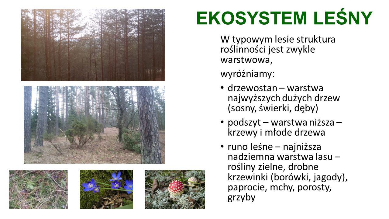 EKOSYSTEM LEŚNY W typowym lesie struktura roślinności jest zwykle warstwowa, wyróżniamy: