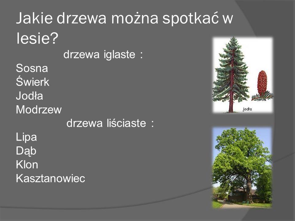 Jakie drzewa można spotkać w lesie