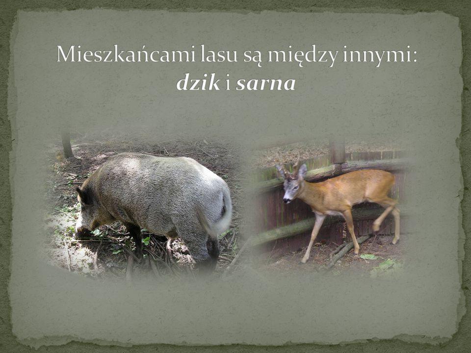 Mieszkańcami lasu są między innymi: dzik i sarna