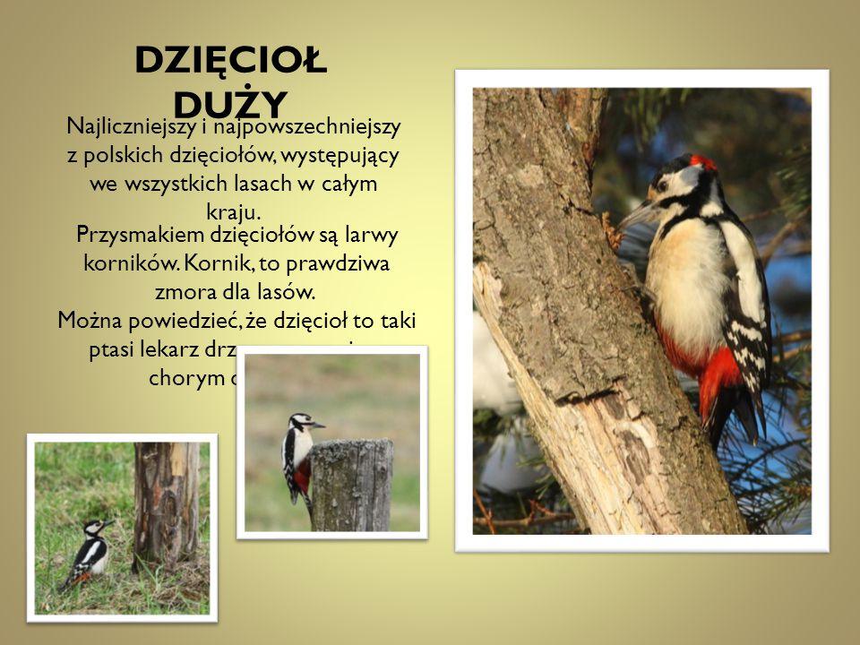 DZIĘCIOŁ DUŻY Najliczniejszy i najpowszechniejszy z polskich dzięciołów, występujący we wszystkich lasach w całym kraju.