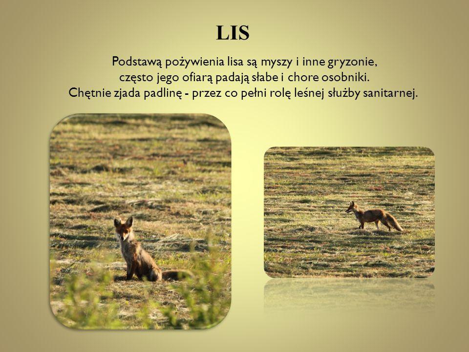 LIS Podstawą pożywienia lisa są myszy i inne gryzonie,