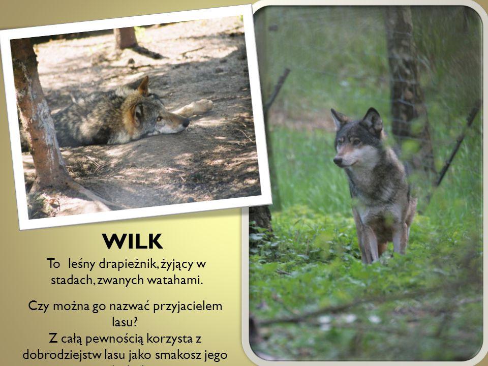 WILK To leśny drapieżnik, żyjący w stadach, zwanych watahami.