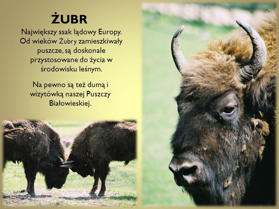 ŻUBR Największy ssak lądowy Europy.