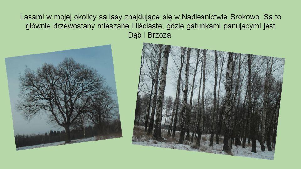 Lasami w mojej okolicy są lasy znajdujące się w Nadleśnictwie Srokowo