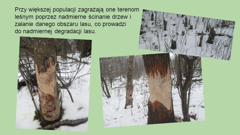 Przy większej populacji zagrażają one terenom leśnym poprzez nadmierne ścinanie drzew i zalanie danego obszaru lasu, co prowadzi do nadmiernej degradacji lasu.