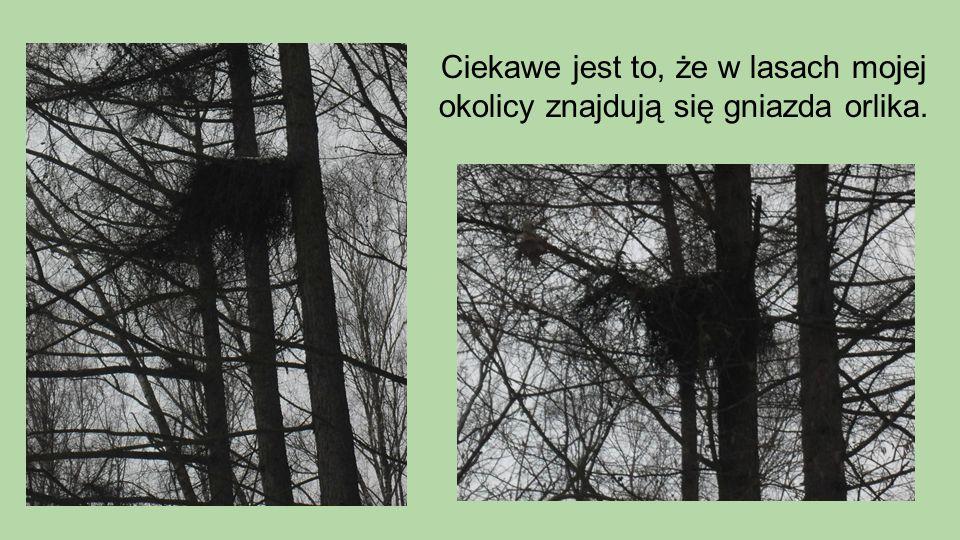 Ciekawe jest to, że w lasach mojej okolicy znajdują się gniazda orlika.