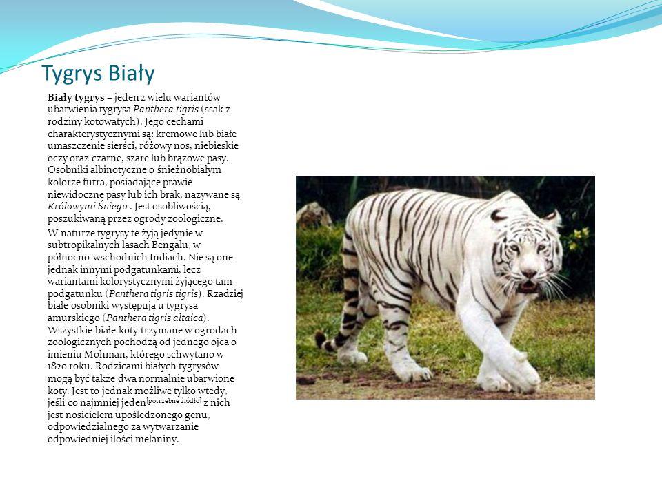 Tygrys Biały