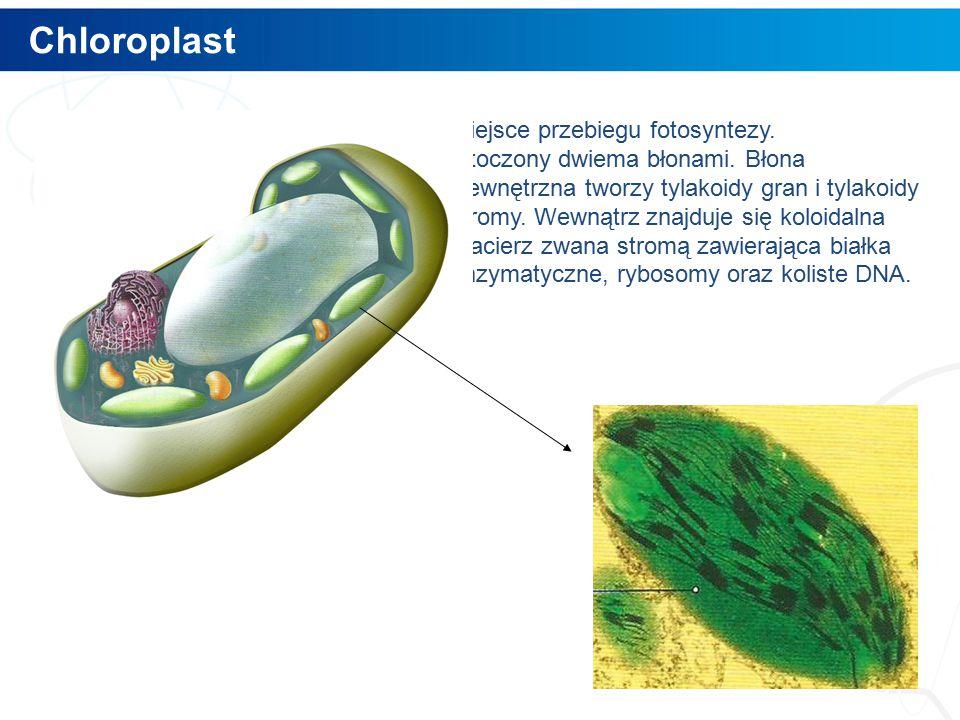 Chloroplast 8 Miejsce przebiegu fotosyntezy.