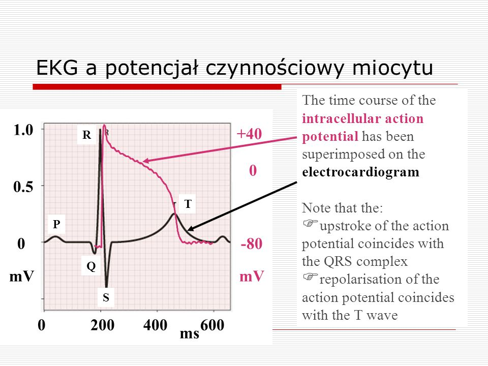 EKG a potencjał czynnościowy miocytu