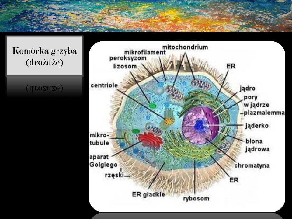 Komórka grzyba (drożdże)