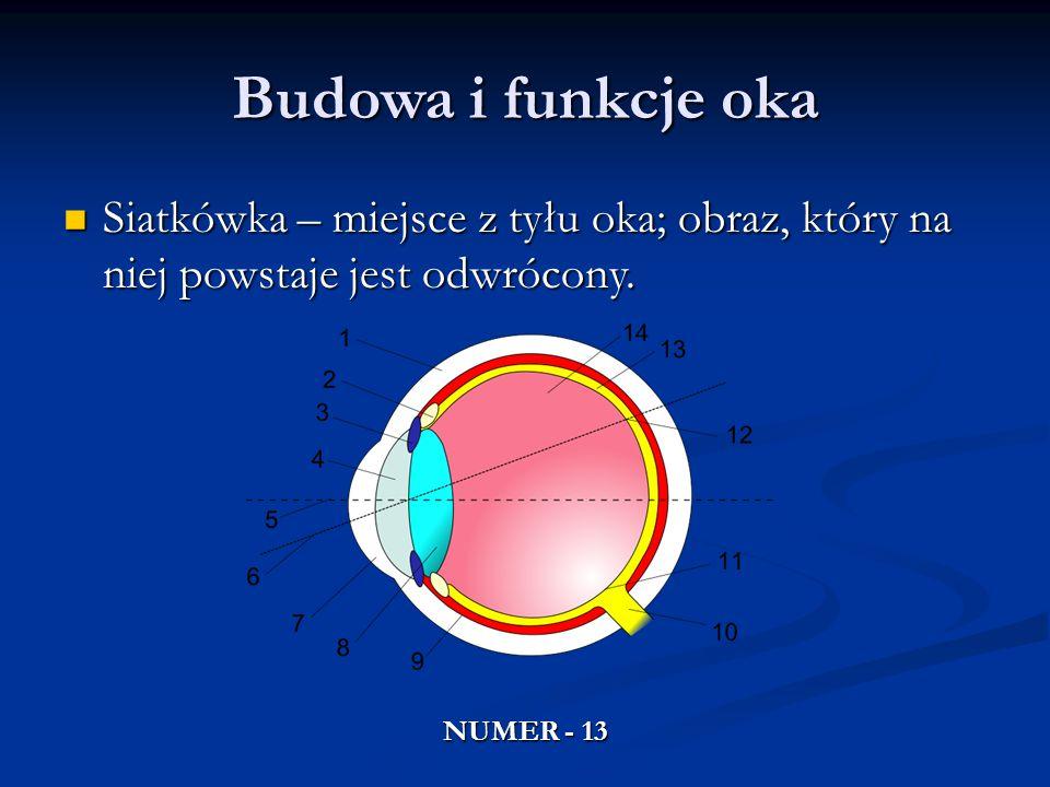 Budowa i funkcje oka Siatkówka – miejsce z tyłu oka; obraz, który na niej powstaje jest odwrócony.