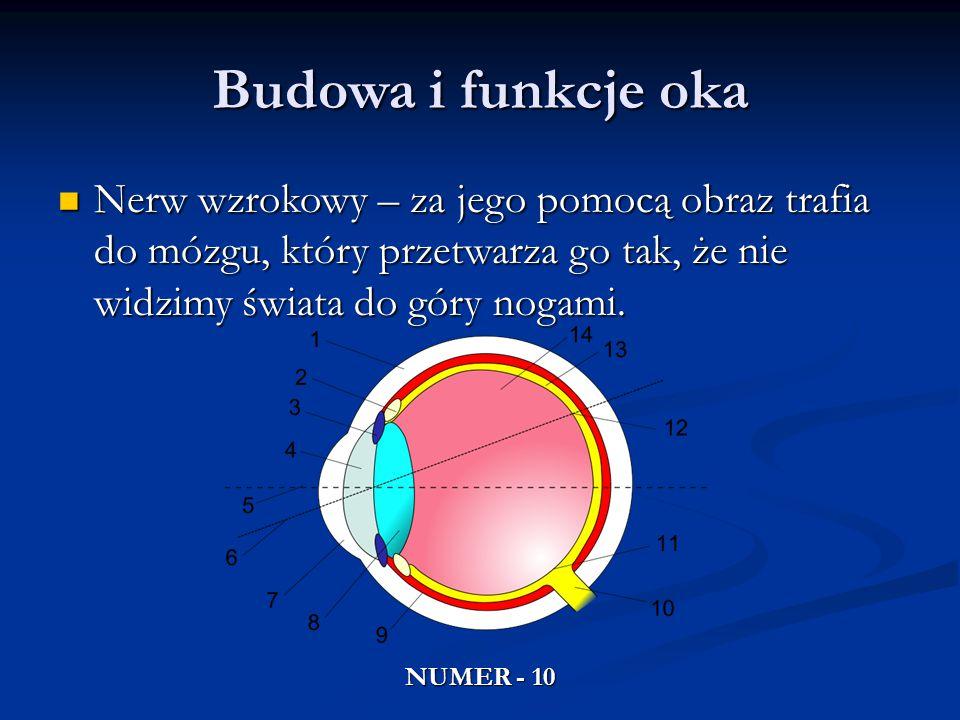 Budowa i funkcje oka Nerw wzrokowy – za jego pomocą obraz trafia do mózgu, który przetwarza go tak, że nie widzimy świata do góry nogami.