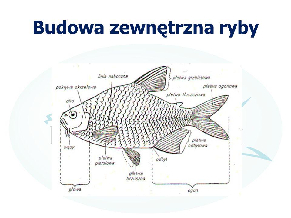 Budowa zewnętrzna ryby