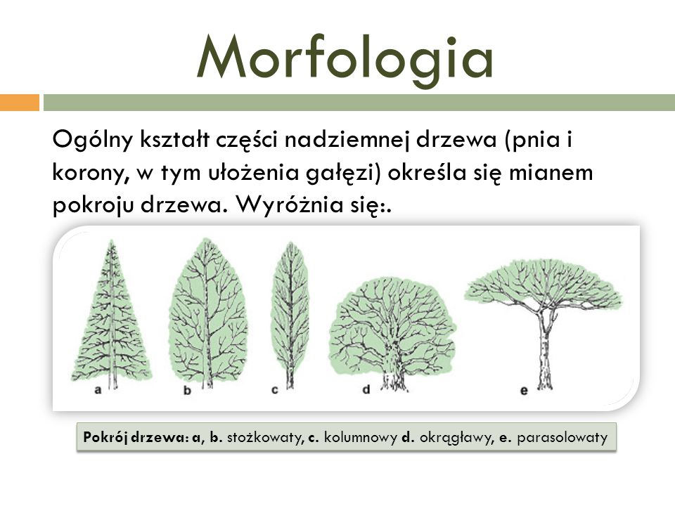 Morfologia Ogólny kształt części nadziemnej drzewa (pnia i korony, w tym ułożenia gałęzi) określa się mianem pokroju drzewa. Wyróżnia się:.