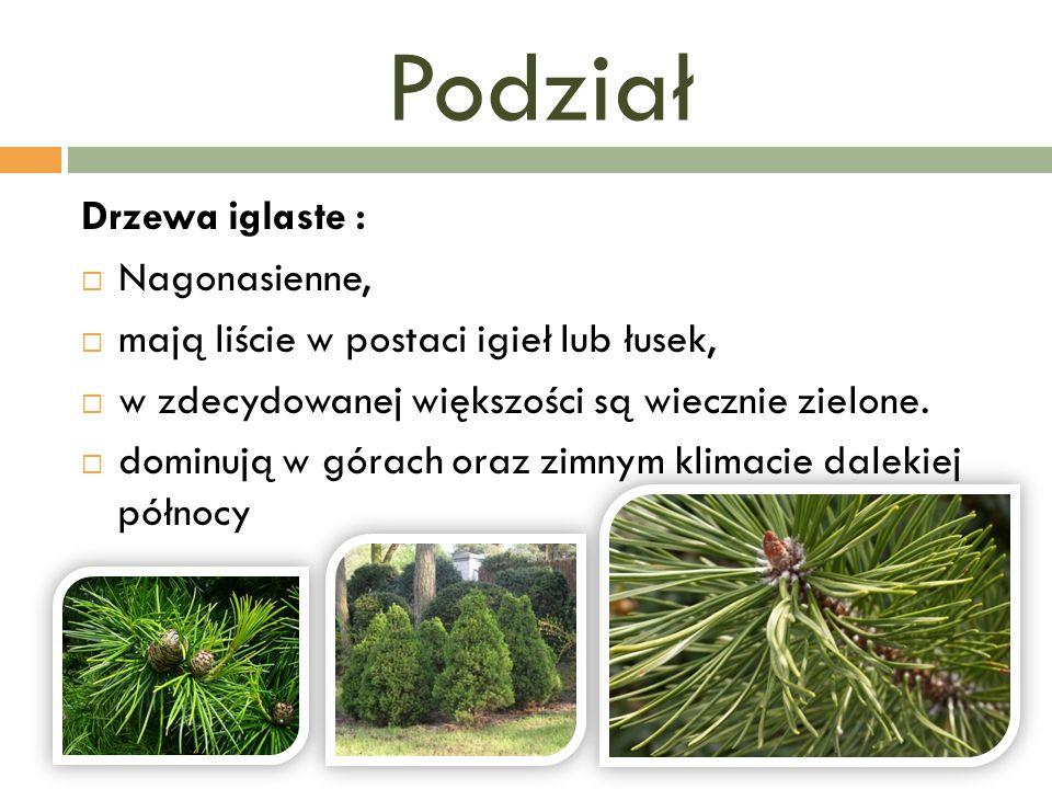 Podział Drzewa iglaste : Nagonasienne,