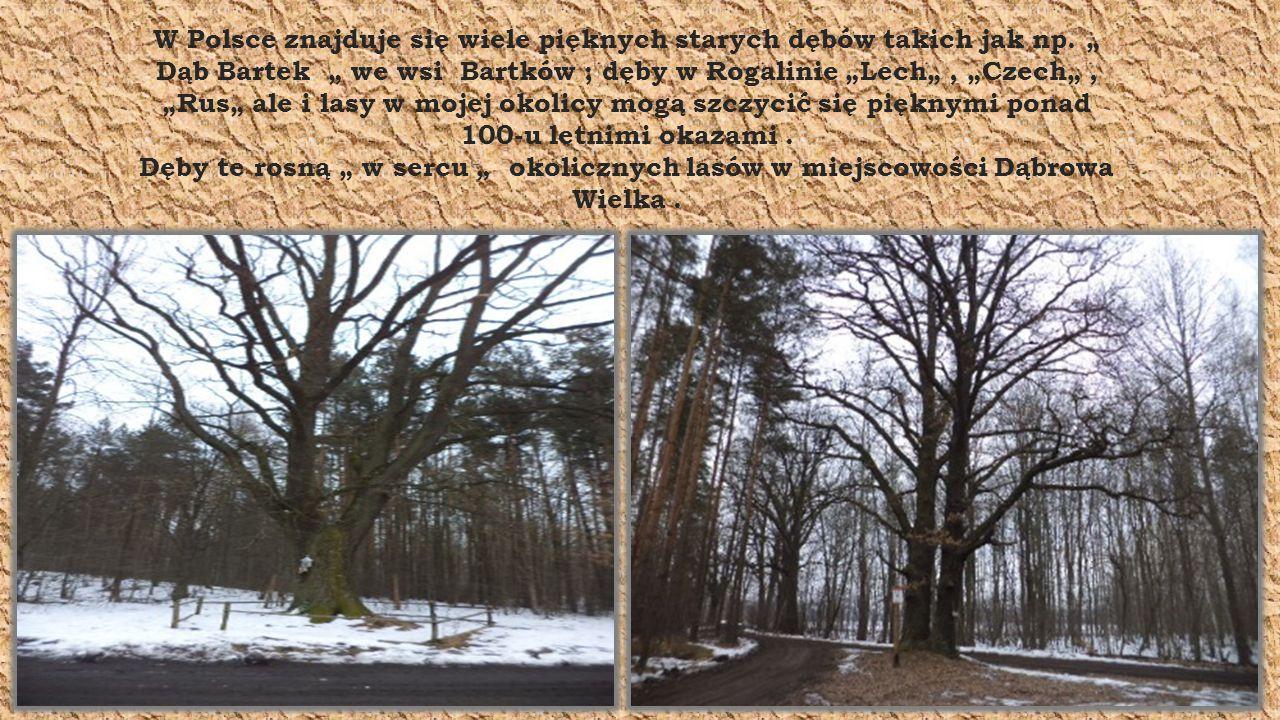 W Polsce znajduje się wiele pięknych starych dębów takich jak np