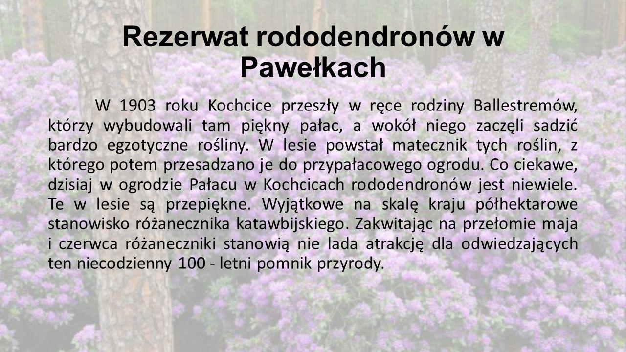Rezerwat rododendronów w Pawełkach