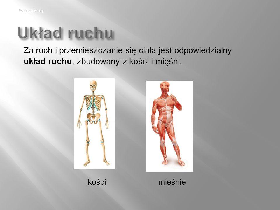 Poruszanie się Układ ruchu. Za ruch i przemieszczanie się ciała jest odpowiedzialny układ ruchu, zbudowany z kości i mięśni.