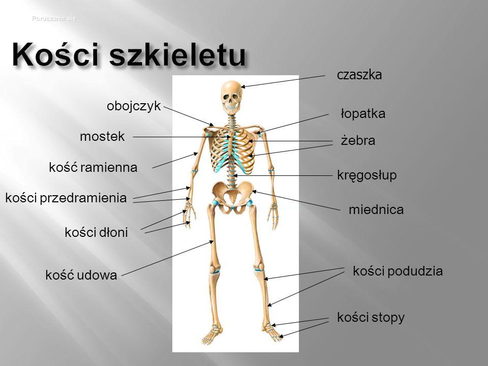 Kości szkieletu czaszka obojczyk łopatka mostek żebra kość ramienna