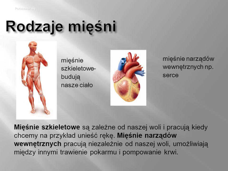 Poruszanie się Rodzaje mięśni. mięśnie narządów wewnętrznych np. serce. mięśnie szkieletowe- budują nasze ciało.