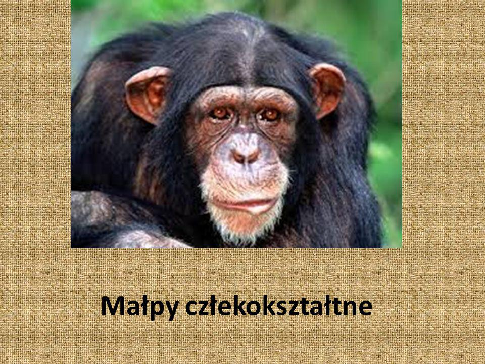 Małpy człekokształtne