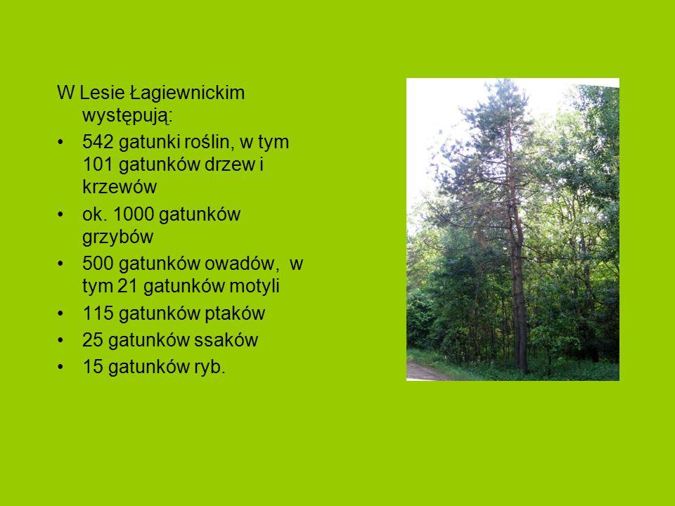 W Lesie Łagiewnickim występują:
