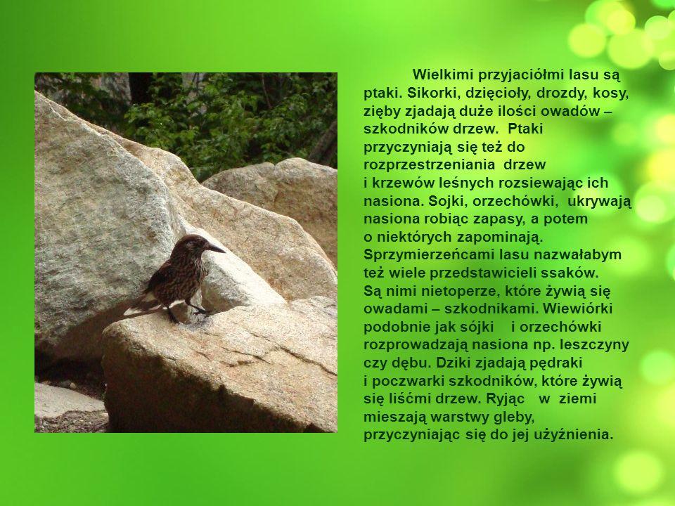 Wielkimi przyjaciółmi lasu są ptaki