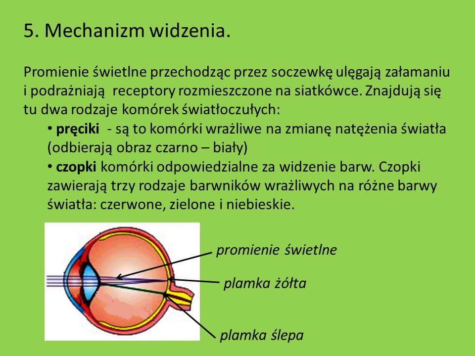 5. Mechanizm widzenia.