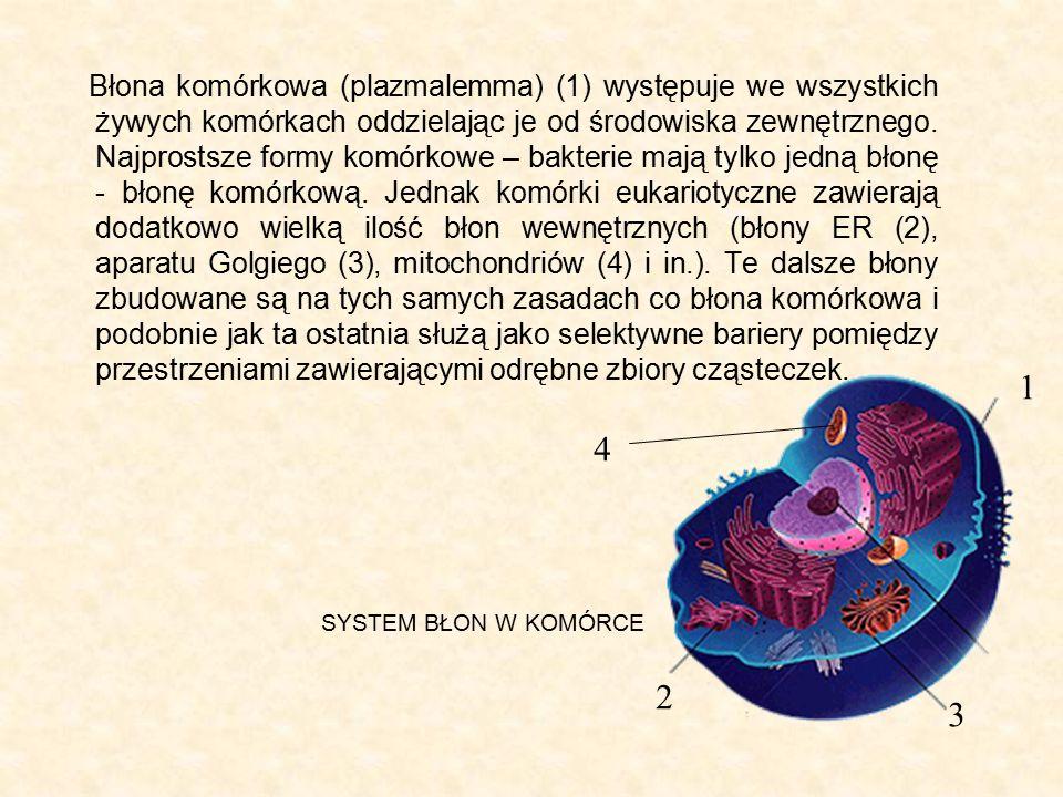 Błona komórkowa (plazmalemma) (1) występuje we wszystkich żywych komórkach oddzielając je od środowiska zewnętrznego. Najprostsze formy komórkowe – bakterie mają tylko jedną błonę - błonę komórkową. Jednak komórki eukariotyczne zawierają dodatkowo wielką ilość błon wewnętrznych (błony ER (2), aparatu Golgiego (3), mitochondriów (4) i in.). Te dalsze błony zbudowane są na tych samych zasadach co błona komórkowa i podobnie jak ta ostatnia służą jako selektywne bariery pomiędzy przestrzeniami zawierającymi odrębne zbiory cząsteczek.