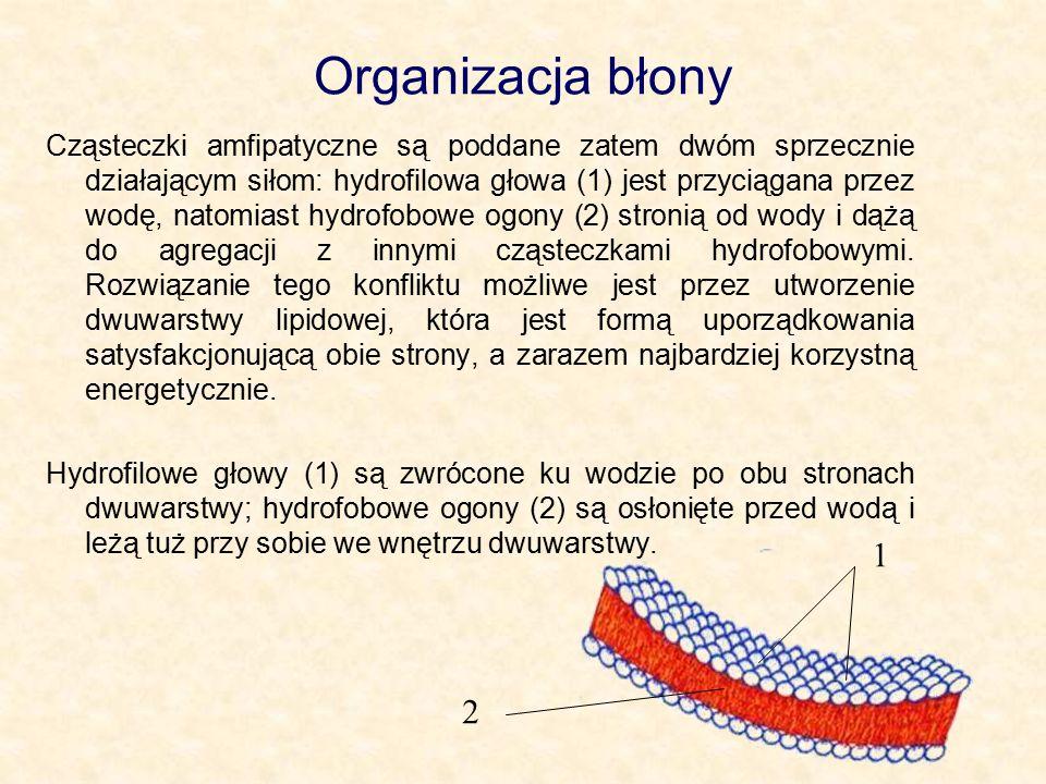 Organizacja błony