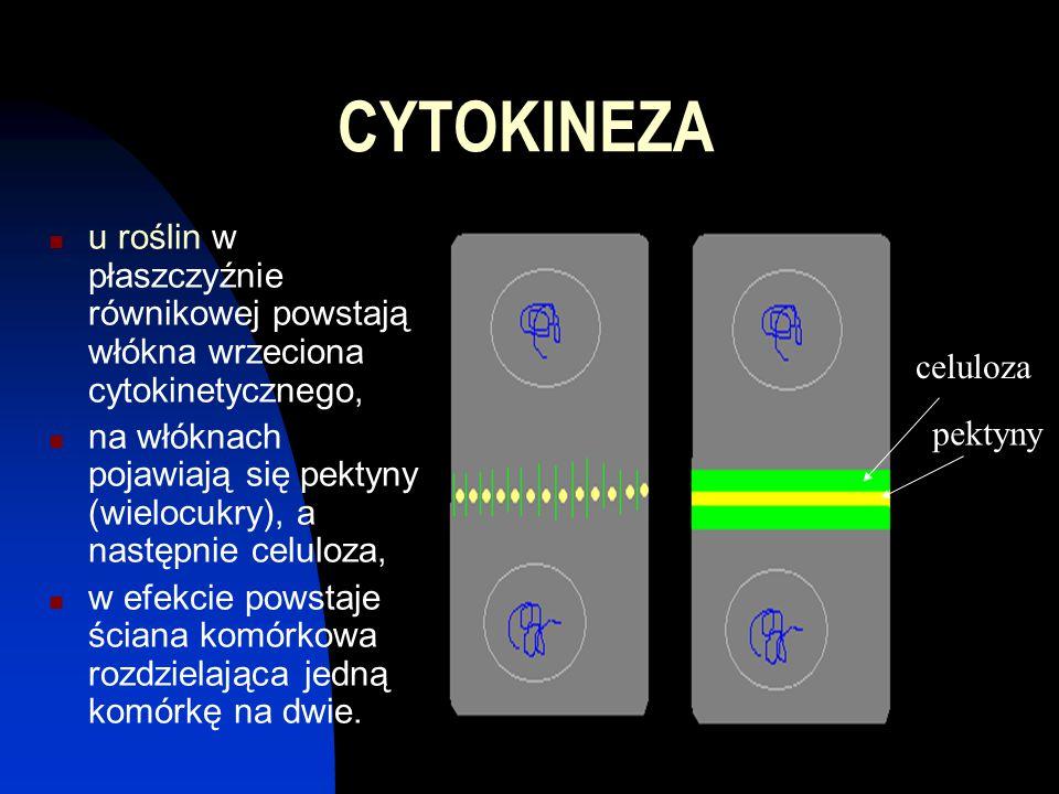 CYTOKINEZA u roślin w płaszczyźnie równikowej powstają włókna wrzeciona cytokinetycznego,