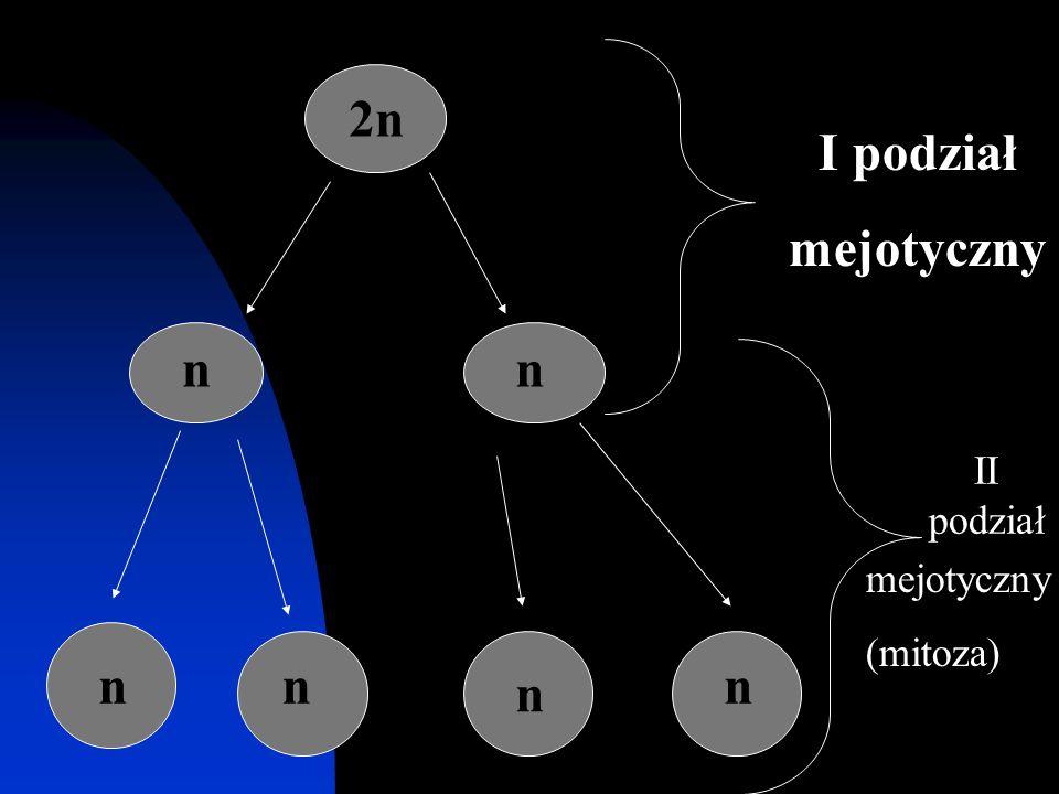 2n I podział mejotyczny n n II podział mejotyczny (mitoza) n n n n