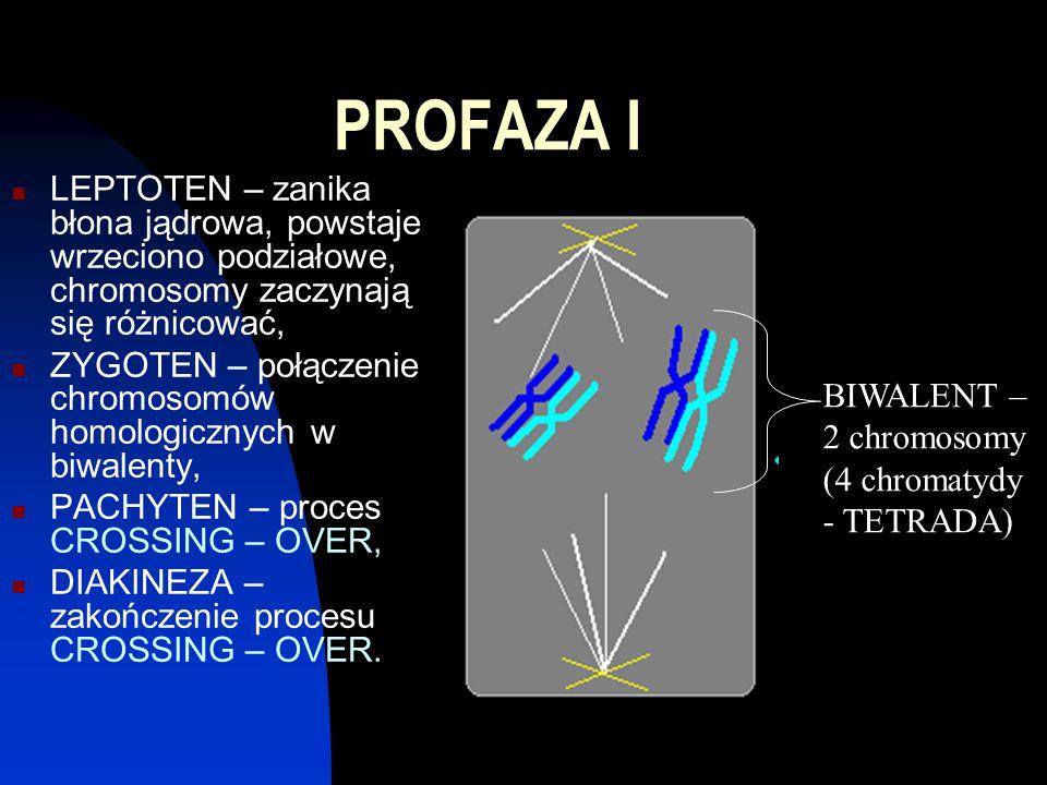 PROFAZA I LEPTOTEN – zanika błona jądrowa, powstaje wrzeciono podziałowe, chromosomy zaczynają się różnicować,