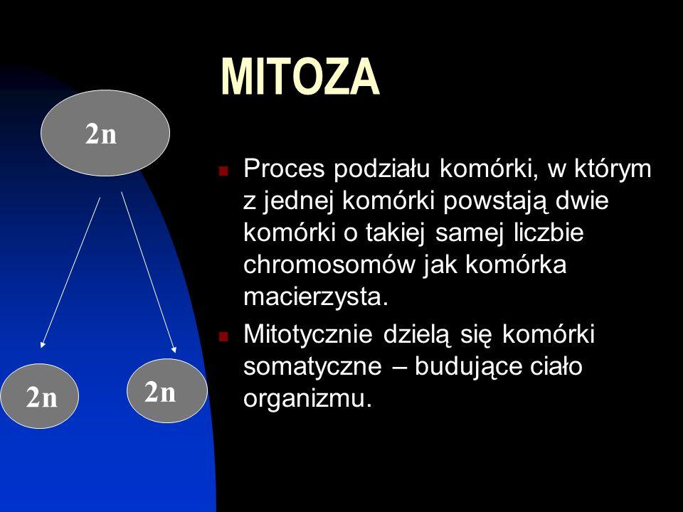 MITOZA 2n. Proces podziału komórki, w którym z jednej komórki powstają dwie komórki o takiej samej liczbie chromosomów jak komórka macierzysta.