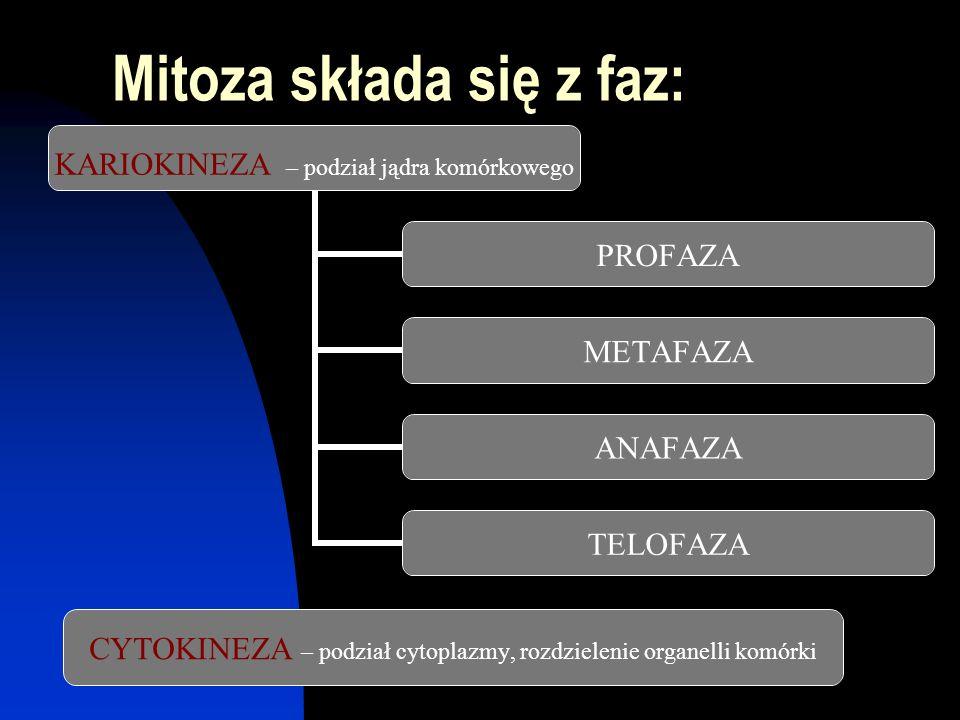Mitoza składa się z faz: