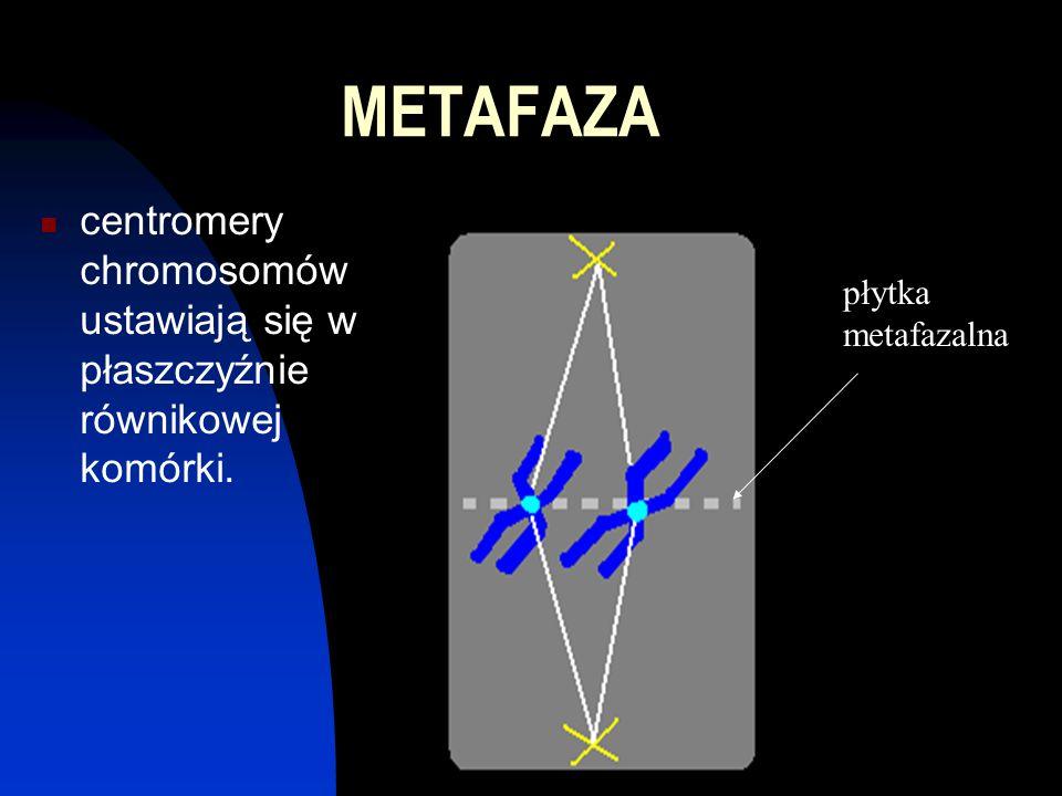 METAFAZA centromery chromosomów ustawiają się w płaszczyźnie równikowej komórki. płytka metafazalna