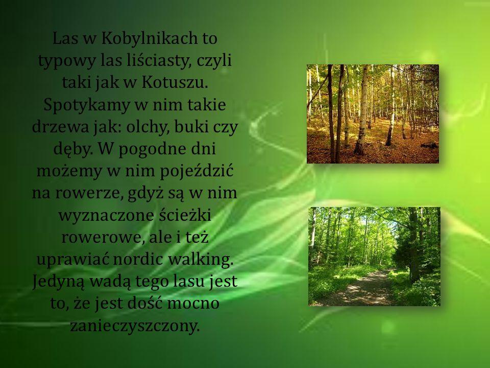 Las w Kobylnikach to typowy las liściasty, czyli taki jak w Kotuszu