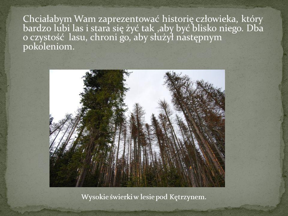 Wysokie świerki w lesie pod Kętrzynem.